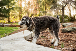 "Schnoodle puppy ""Junho"" playing tug with a stick in his yard in Issaquah, Washington, USA"