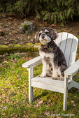 "Schnoodle puppy ""Junho"" posing in a wooden lawn chair in Issaquah, Washington, USA"