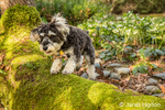 "Schnoodle puppy ""Junho"" jumping onto a moss-covered fallen tree in Issaquah, Washington, USA"