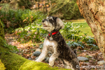 "Schnoodle puppy ""Junho"" posing on a moss-covered fallen tree in Issaquah, Washington, USA"