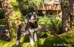 """Schnoodle puppy """"Junho"""" posing on a moss-covered fallen tree in Issaquah, Washington, USA"""