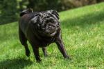 Kirby, a black Pug in Redmond, Washington, USA