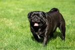 Ollie, a black Pug in Redmond, Washington, USA