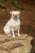 Lewee, a white Pug in Redmond, Washington, USA
