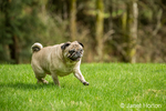 Cabo, a fawn Pug in Redmond, Washington, USA