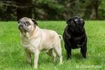 Fawn and black Pugs in Redmond, Washington, USA