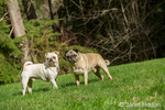 Fawn and white Pugs in Redmond, Washington, USA