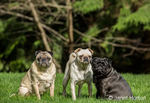 Three Pugs (fawn - Bernie, white - Lewee, and black - Kirby) in Redmond, Washington, USA