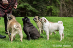 Woman with four Pugs (fawns - Bernie & Cabo, black - Kirby and white - Lewee) in Redmond, Washington, USA