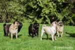 Five Pugs (blacks - Kirby & Ollie, fawns - Bernie & Cabo, white - Lewee) in Redmond, Washington, USA