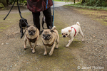 Woman walking her five Pugs (blacks - Kirby & Ollie, fawns - Bernie & Cabo, white - Lewee) in Redmond, Washington, USA