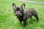 Dobee, the French Bulldog in Redmond, Washington, USA.  Two distinctive features of the French Bulldog are its bat ears and half-flat, half-domed skull.  While bred primarily as pets and companions, Frenchies are remarkably intelligent and serve as good watchdogs.