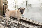 Fawn-colored Pug, Buddy, posing by the Sammamish river in Marymoor Park in Redmond, Washington, USA