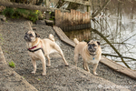Two fawn Pugs, Buddy and Bella Boo, posing by the Sammamish river in Marymoor Park in Redmond, Washington, USA