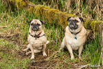 Two fawn Pugs, Buddy and Bella Boo, posing by a moss-covered fence in Marymoor Park in Redmond, Washington, USA