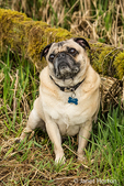 Fawn-colored Pug, Buddy, posing by a moss-covered fence in Marymoor Park in Redmond, Washington, USA