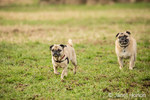 Two fawn Pugs, Buddy and Bella Boo, running in a field in Marymoor Park in Redmond, Washington, USA