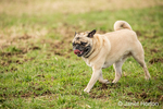 Fawn-colored Pug, Buddy, walking in a field in Marymoor Park in Redmond, Washington, USA