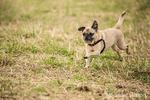 Fawn-colored Pug, Bella Boo, running in a field in Marymoor Park in Redmond, Washington, USA