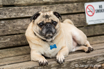 Fawn-colored Pug, Buddy, resting on a wooden park bench in Marymoor Park in Redmond, Washington, USA
