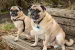 Fawn-colored Pugs, Buddy and Bella Boo, sitting on a wooden park bench in Marymoor Park in Redmond, Washington, USA