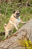 Fawn-colored Pug, Buddy, about to jump onto a fallen tree in Marymoor Park in Redmond, Washington, USA