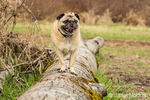 Fawn-colored Pug, Buddy, standing on a fallen tree in Marymoor Park in Redmond, Washington, USA