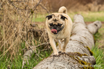 Fawn-colored Pug, Buddy,walking on a fallen tree in Marymoor Park in Redmond, Washington, USA