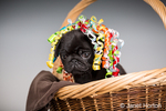 Fitzgerald, a 10 week old black Pug puppy wearing a party bow, sitting in a basket in Issaquah, Washington, USA
