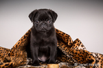 Fitzgerald, a 10 week old black Pug puppy curled up in a spotted blanket in Issaquah, Washington, USA