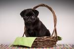 Fitzgerald, a 10 week old black Pug puppy sitting in a basket in Issaquah, Washington, USA