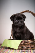 Fitzgerald, a 10 week old black Pug puppy sitting in a basket in Issaquah, Washington, USA