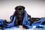Fitzgerald, a 10 week old black Pug puppy curled up in a blanket in Issaquah, Washington, USA