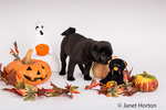 Fitzgerald, a 10 week old black Pug puppy surrounded by Halloweeen decorations in Issaquah, Washington, USA