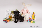 Fitzgerald, a 10 week old black Pug puppy surrounded by Easter decorations in Issaquah, Washington, USA