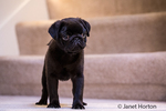 Fitzgerald, a 10 week old black Pug puppy standing on a carpeted stairwell in Issaquah, Washington, USA