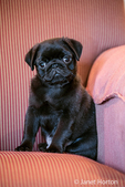 Fitzgerald, a 10 week old black Pug puppy sitting in an upholstered chair in Issaquah, Washington, USA
