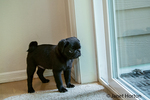 Fitzgerald, a 10 week old black Pug puppy waiting to be let out the door in Issaquah, Washington, USA