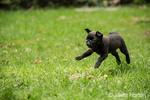 Fitzgerald, a 10 week old black Pug puppy playfully running and jumping into the air in the backyard lawn in Issaquah, Washington, USA