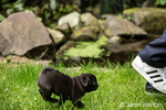 Fitzgerald, a 10 week old black Pug puppy chasing after his owner in the backyard lawn in Issaquah, Washington, USA