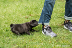 Fitzgerald, a 10 week old black Pug puppy being naughty and chewing on his owner's jeans in Issaquah, Washington, USA