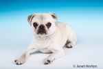 Max, a white Pug puppy, reclining in Issaquah, Washington, USA