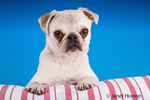Max, a white Pug puppy, resting on a striped cushion in Issaquah, Washington, USA