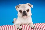Max, a white Pug puppy, resting on a striped cushion in Issaquah, Washington, USA