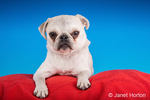 Max, a white Pug puppy, resting on a red cushion in Issaquah, Washington, USA
