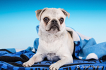 Max, a white Pug puppy, wrapped in a blue blanket in Issaquah, Washington, USA