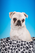 Max, a white Pug puppy, sitting in a paw-printed box in Issaquah, Washington, USA