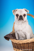 Max, a white Pug puppy, sitting in a large basket in Issaquah, Washington, USA