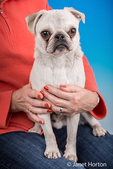 Max, a white Pug puppy, sitting on the lap of his owner in Issaquah, Washington, USA