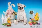 Max, a white Pug puppy, surrounded by Easter decorations in Issaquah, Washington, USA